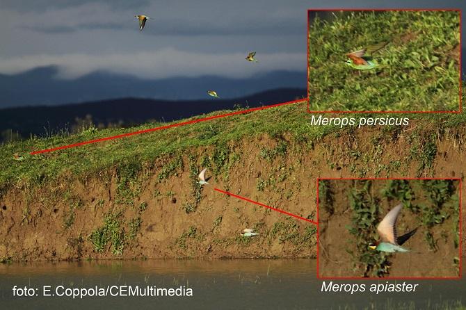 Merops persicus