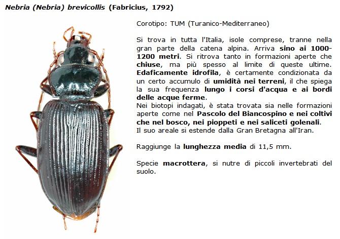 Nebria brevicollis