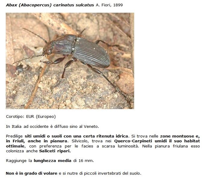 SC Abax_carinatus