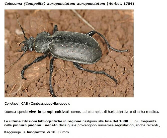 SC Calosoma_auropunctatum