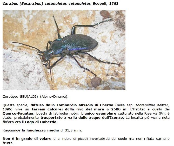 SC Carabus_catenulatus