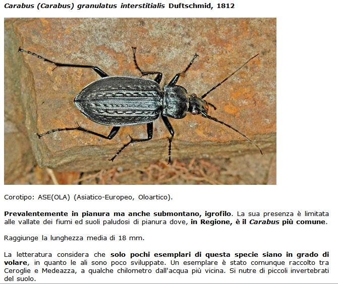 SC Carabus_granulatus