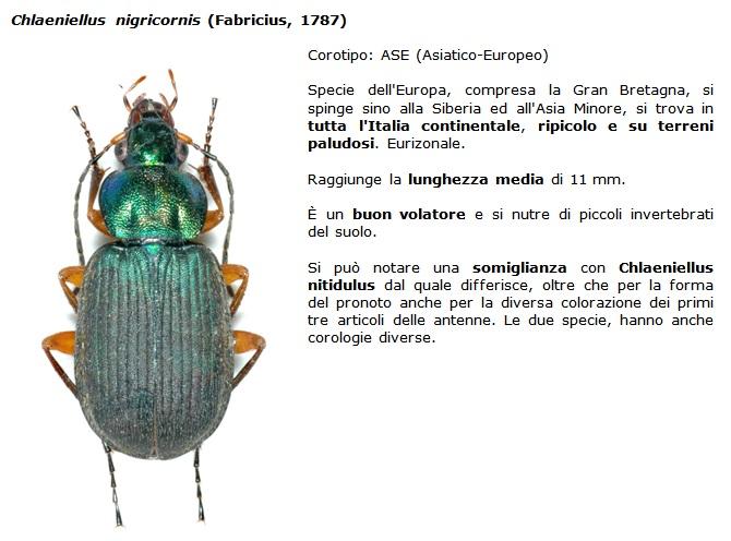 SC Chlaeniellus_nigricornis