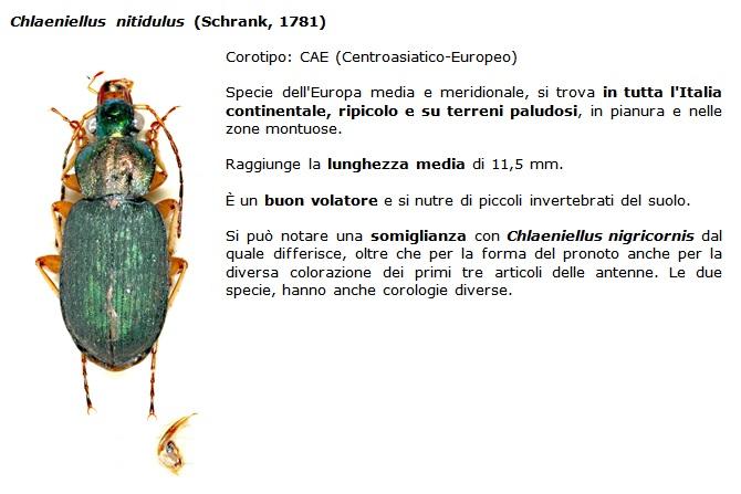 SC Chlaeniellus_nitidulus
