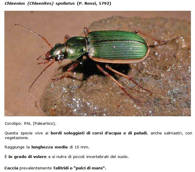 SC Chlaenius_spoliatus