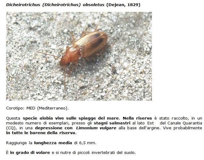 SC Dicheirotrichus_obsoletus