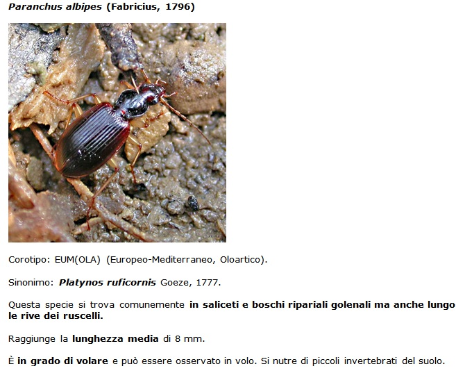 SC Paranchus_albipes