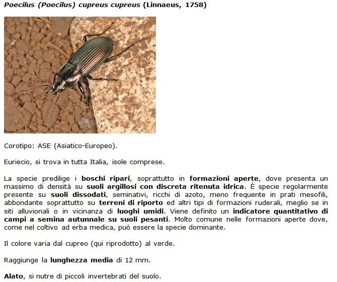 SC Poecilus_cupreus