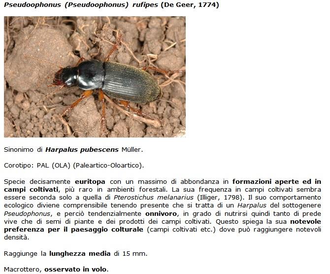 SC Pseudoophonus_rufipes