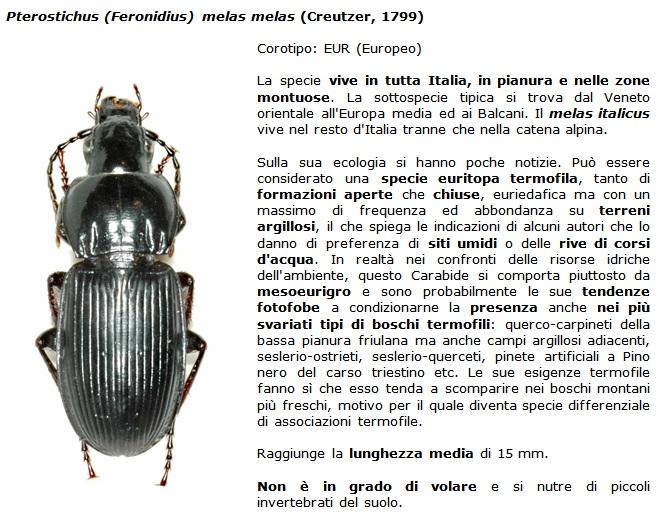 SC Pterostichus_melas