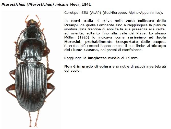 SC Pterostichus_micans