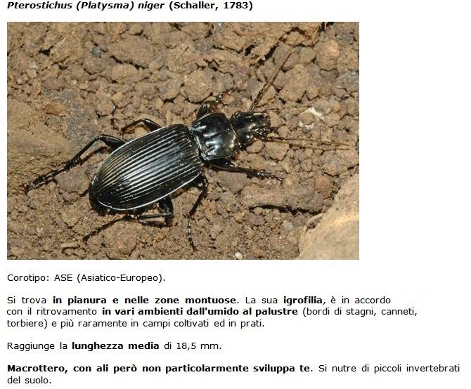 SC Pterostischus_niger