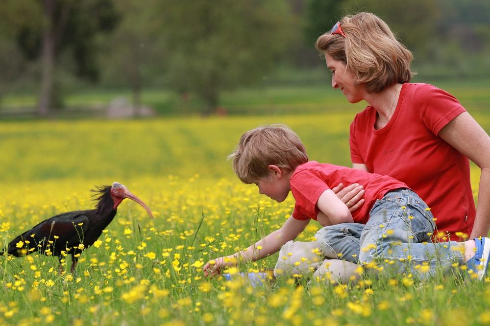 Uno degli ibis eremita allevati con imprinting nell'ambito del Progetto austriaco di reintroduzione
